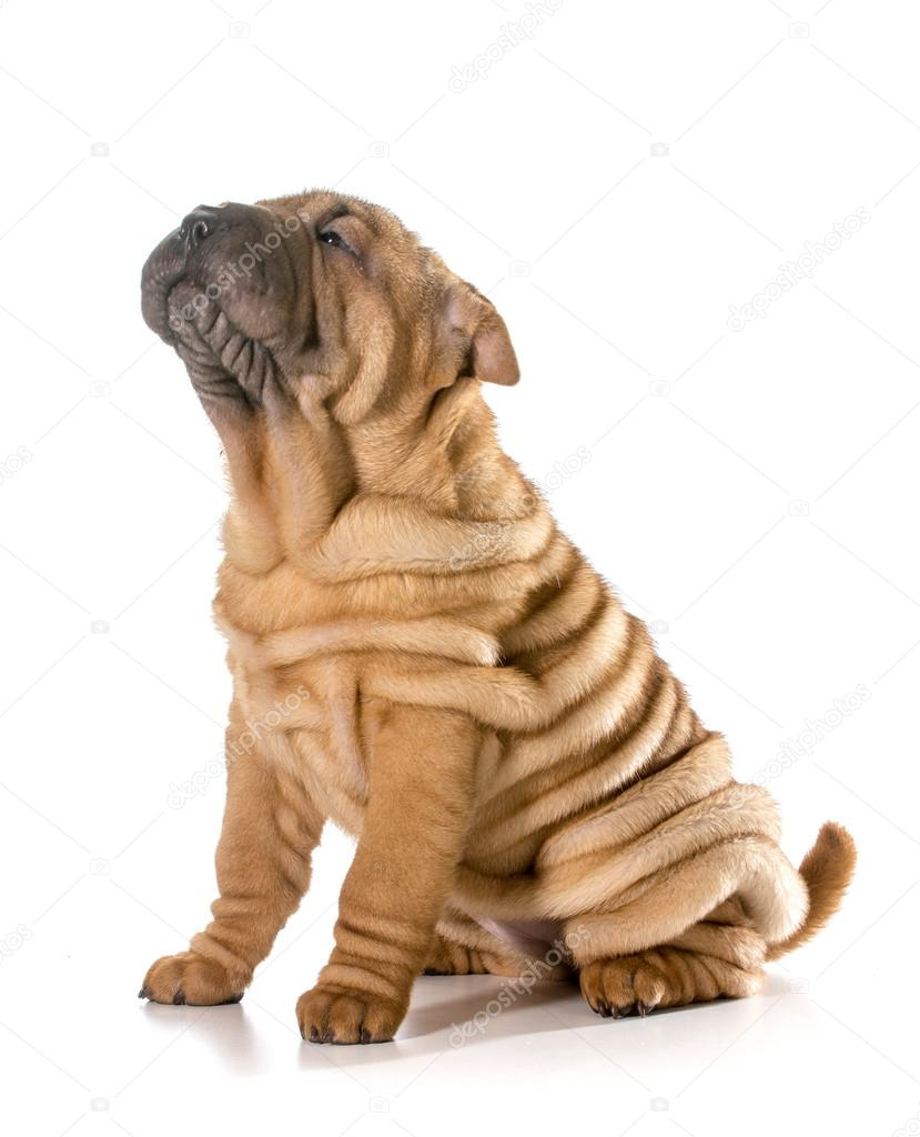 download shar pei puppies - photo #41