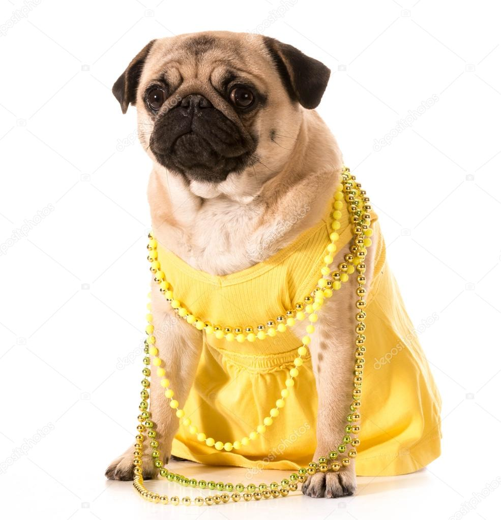 4516ae63 Female pug wearing yellow sundress and beads isolated on white background —  Photo by ...
