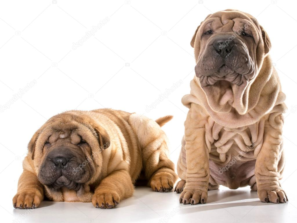 White Shar Pei Puppies
