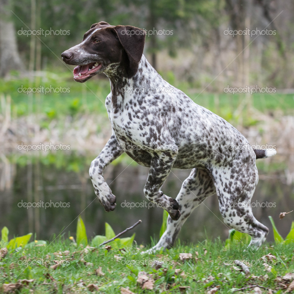 german shorthaired pointer — Stock Photo © willeecole #47093963