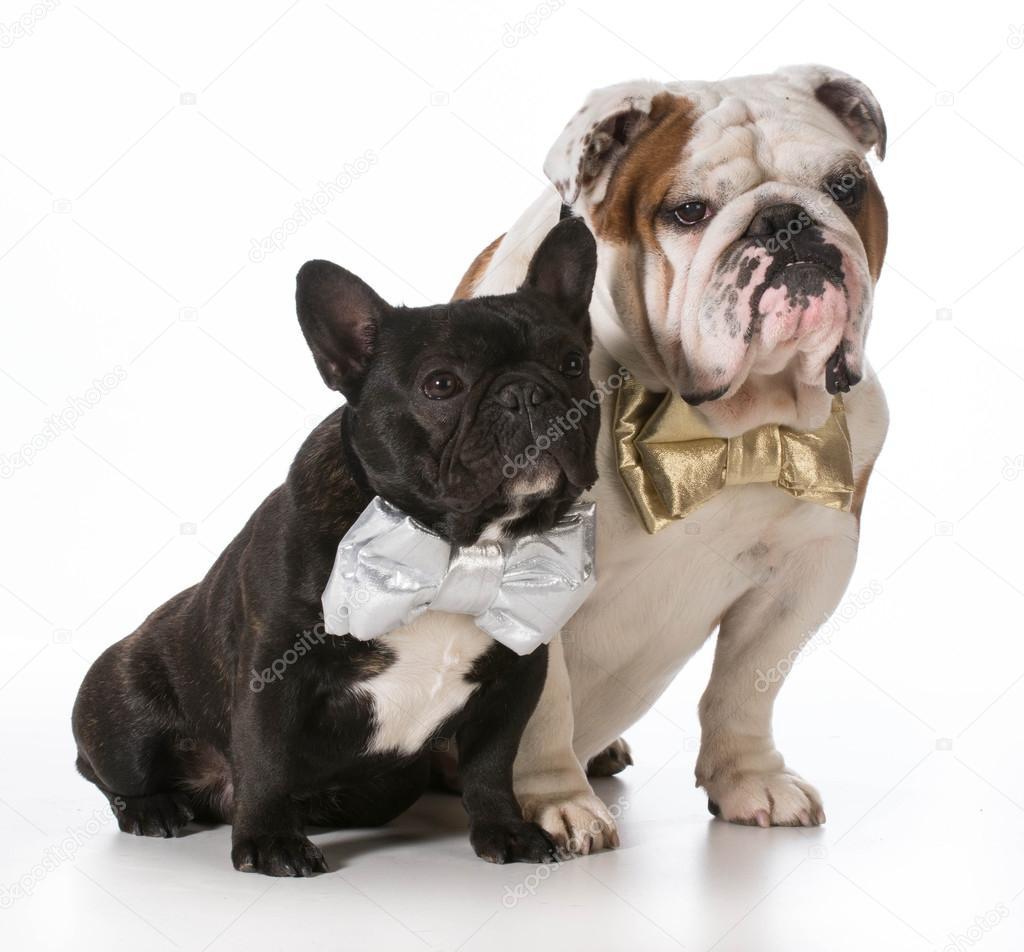 französische bulldogge größe