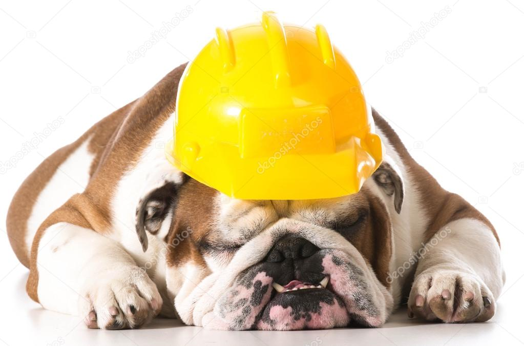 Working dog wearing construction hat isolated on white background