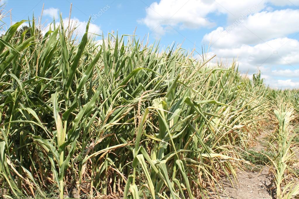 Drought sticken corn