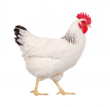 White hen isolated on white, studio shot stock vector