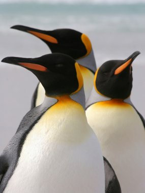 Group of three King Penguins, Falkland Islands.