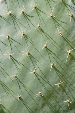 Close up of a cactus with shadows of the spikes falling across the surface, Mexico.