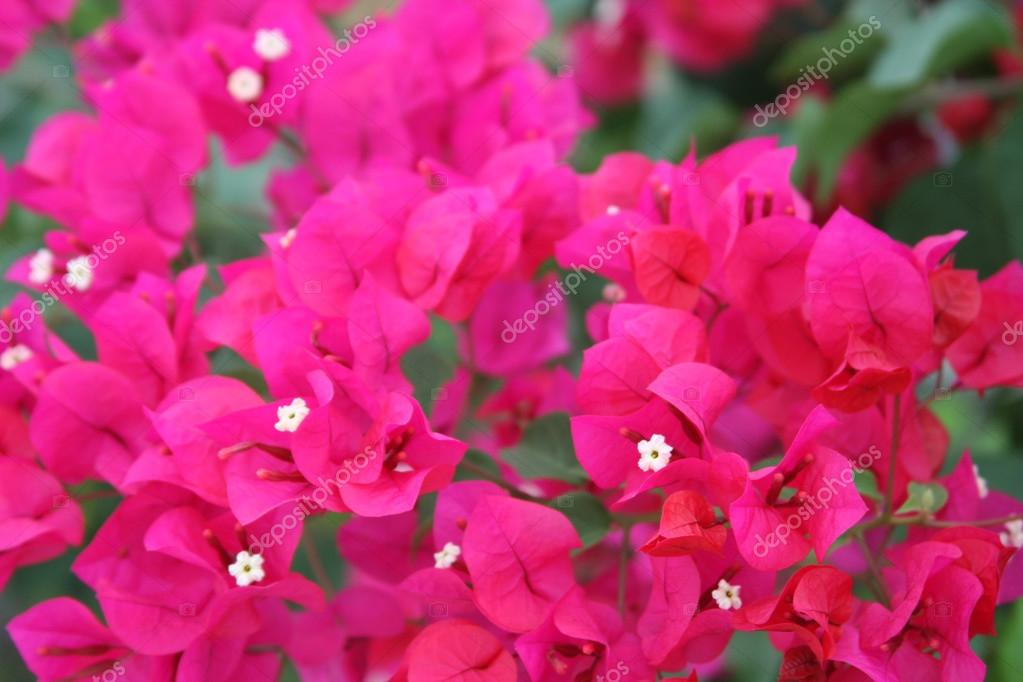 Bougainvillea, Bright pink petals & tiny white flowers in the center ...