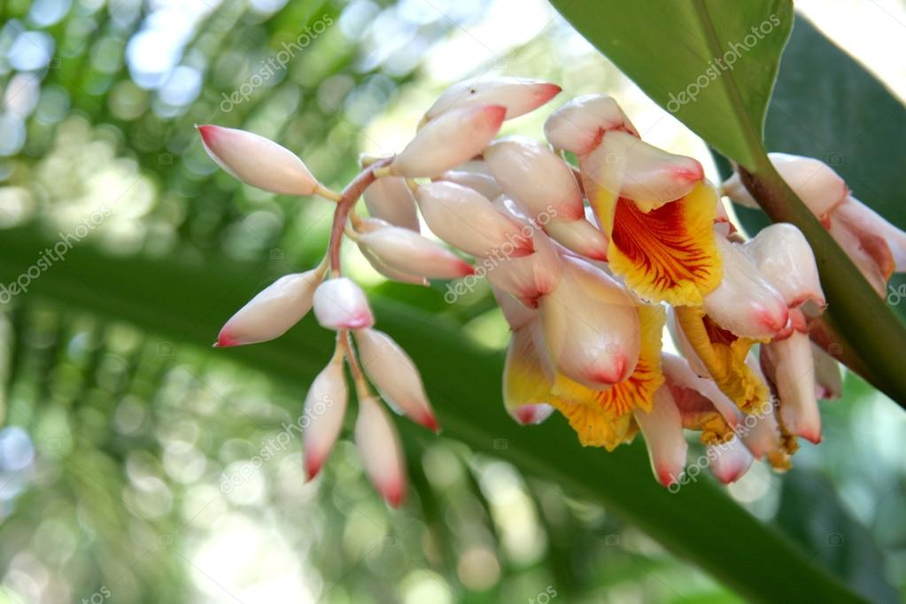 Alpinia zerumbet, commonly known as shell ginger