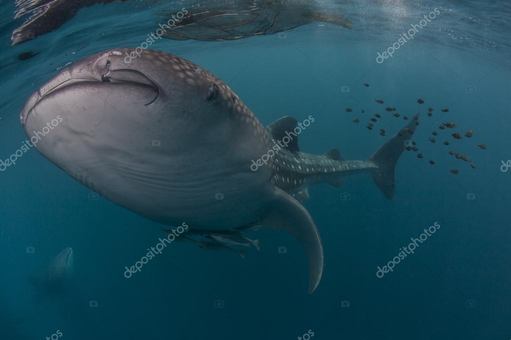 Whale shark in the blue sea of Cenderawasih Bay, Indonesia