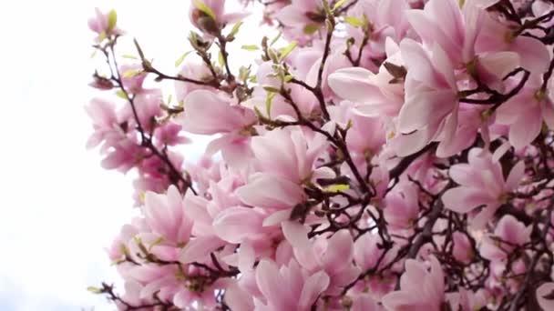 krásné okrasné růžová Tulipán magnolie strom