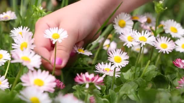 Little(Woman) girl picking daisies for a bouquet, closeup