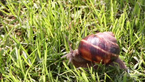 Snail searching for food, close up