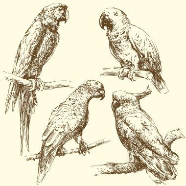 Hand drawn parrots