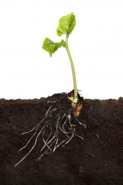 Runner bean in soil