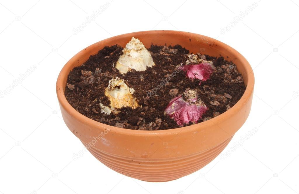 bulbos de jacinto en maceta — foto de stock © griffin024 #14257297
