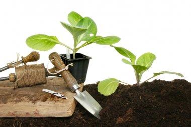 Cabbage planting