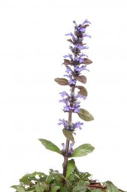 Bugle plant