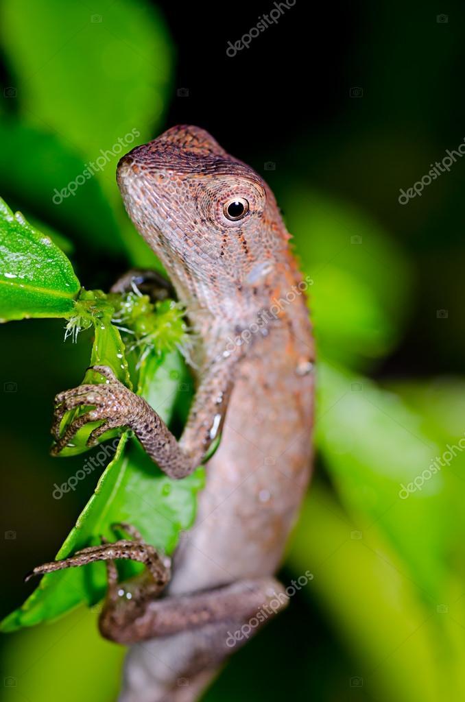 Lizard on green leaf