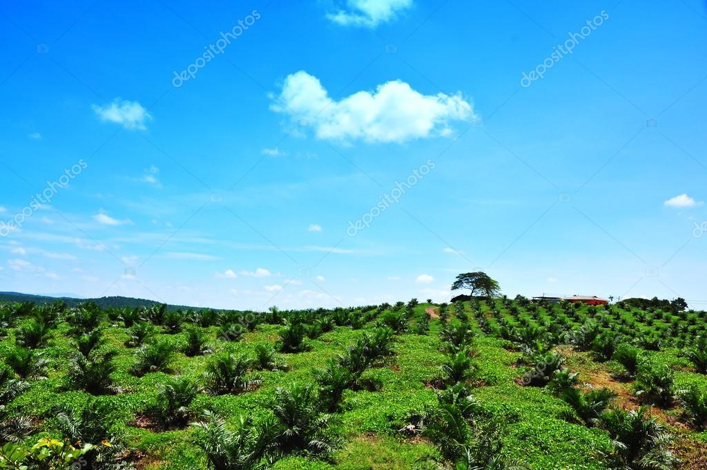 Palm Oil Plantation on Hill