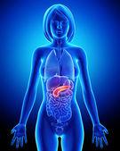 Fotografie anatomie ženské slinivky v modré x-ray