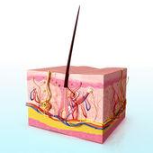 Haj folicle anatómiája