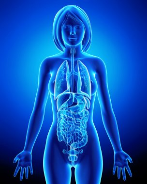 All organs of female body in blue x-ray loop