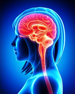 Anatomy of brain cross section in blue