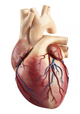 Different view of heart anatomy