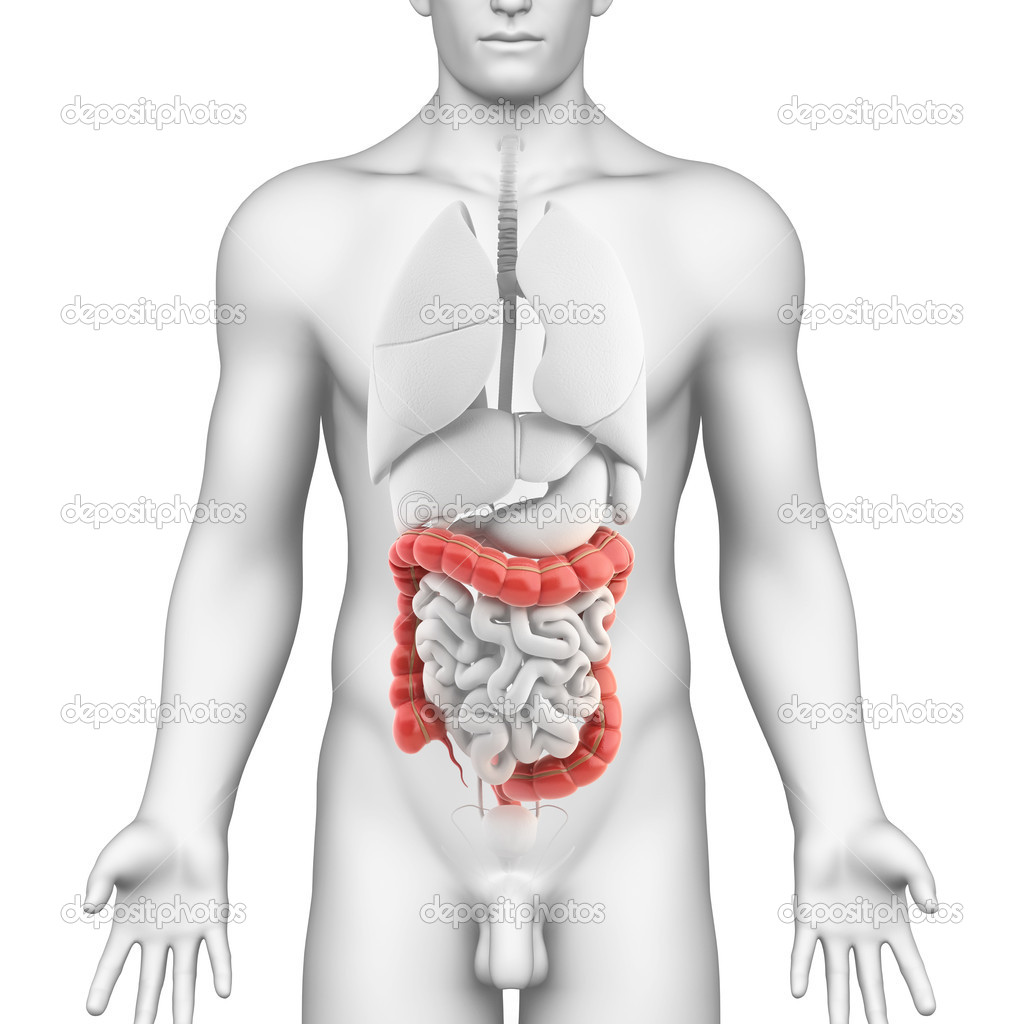 Colon anatomy of male digestive system — Stock Photo © pixologic ...