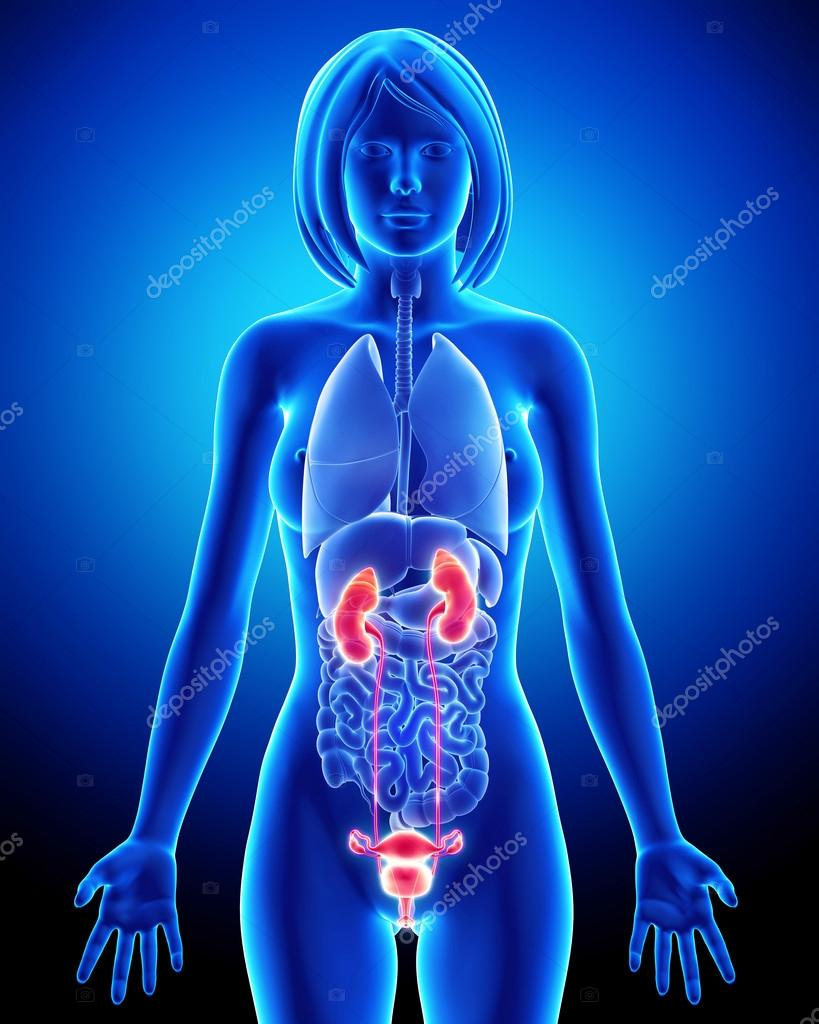 Frau Niere Anatomie in blau Röntgen-Schleife — Stockfoto © pixologic ...
