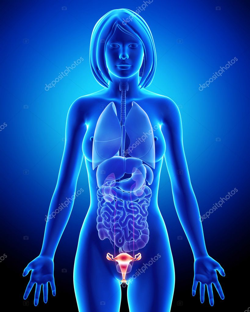 Female bladder anatomy in blue x-ray loop — Stock Photo © pixologic ...