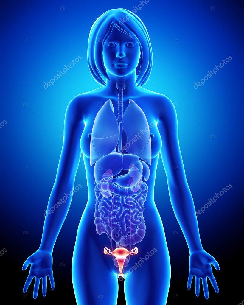Female Bladder Anatomy In Blue X Ray Loop Stock Photo Pixologic