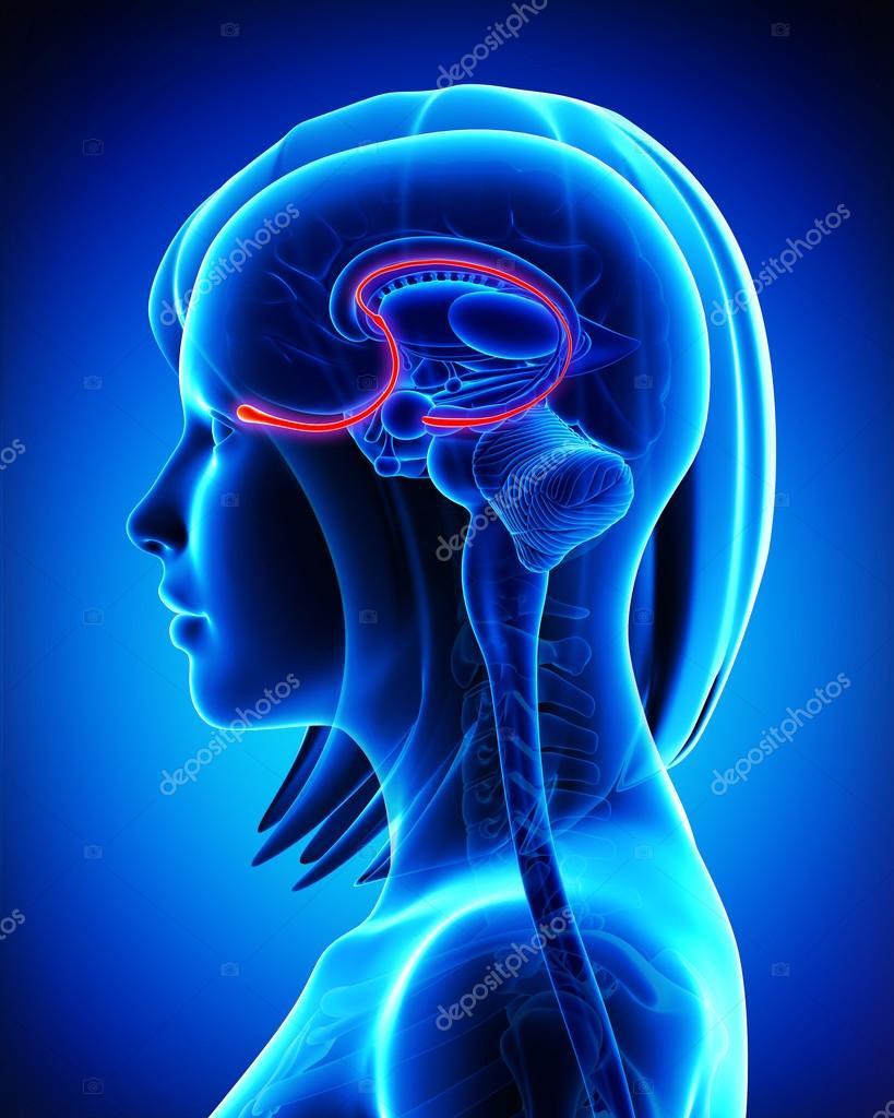 Brain anatomy olfactory bulb - cross section — Stock Photo ...