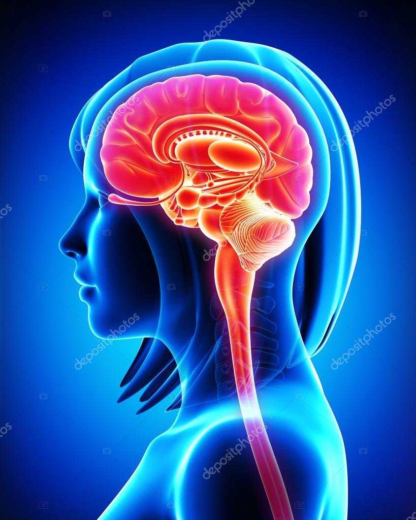 Anatomía del cerebro de sección transversal en azul — Foto de stock ...