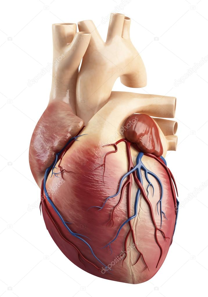 Different view of heart anatomy — Stock Photo © pixologic #13955744