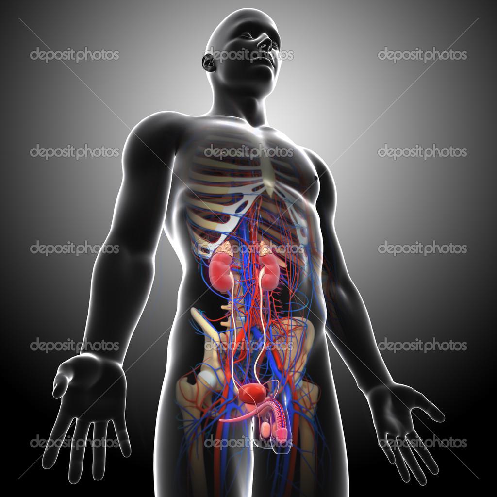 Anatomie der Niere Querschnitt — Stockfoto © pixologic #13955808