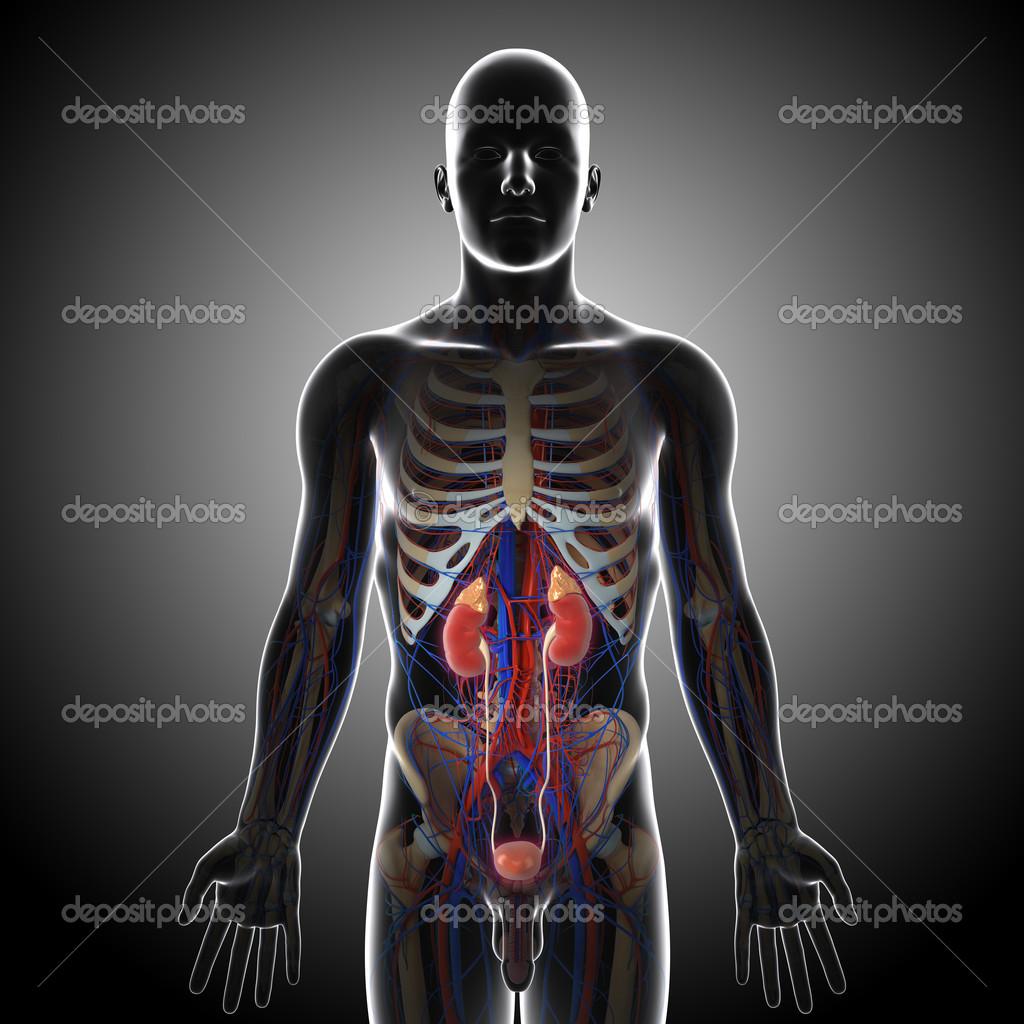 Anatomie der Niere Querschnitt — Stockfoto © pixologic #13955823