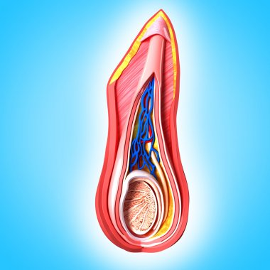 Male scrotal layers