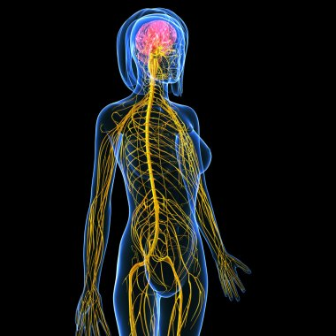 Nervous system of female body view isolated in black