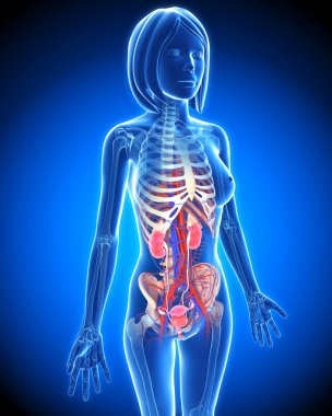 Female Urinary system in blue x-ray form in blue
