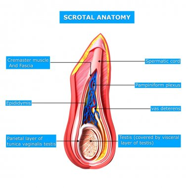 scrotal layer with names