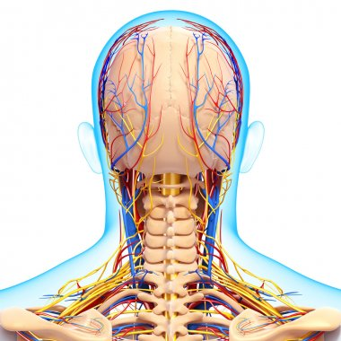 back view of circulatory and nervous system of back view of head