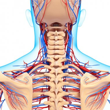 Circulatory system of back view of back isolated