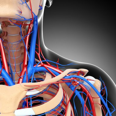 front half view of throat circulatory system isolated with gray