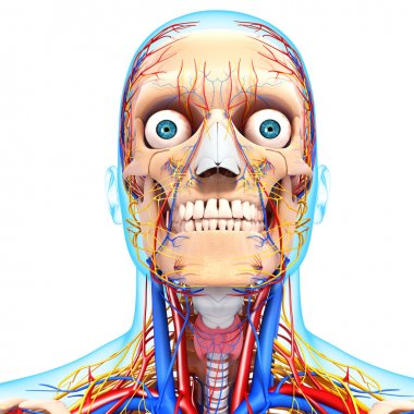 nervous head with, eyes, throat, teeth and circulatory system with blue boundry