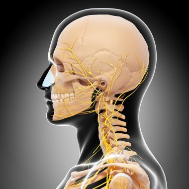 Skeleton of man side view of head and nervous system