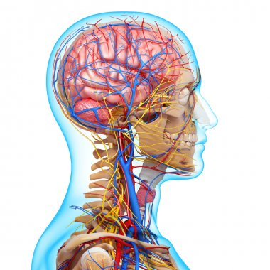 side view of head circulatory system with, eyes, throat, teeth
