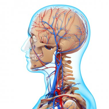 side view of head circulatory system with, eyes, throat, teeth isolated