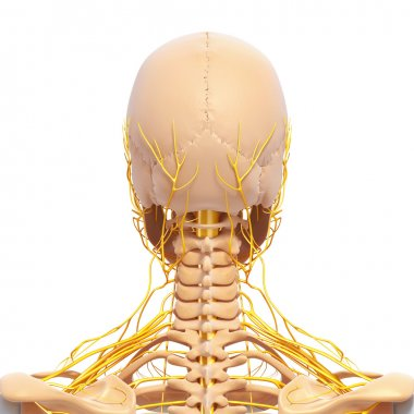 nervous system of back view of human skeleton of head with eyes, teeth