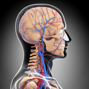 side view of circulatory system of head with, eyes, throat, teeth isolated in gray